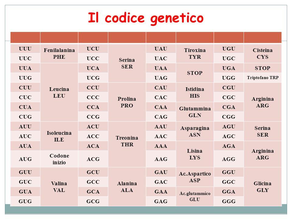 Il codice genetico UUU Fenilalanina PHE UCU Serina SER UAU Tiroxina