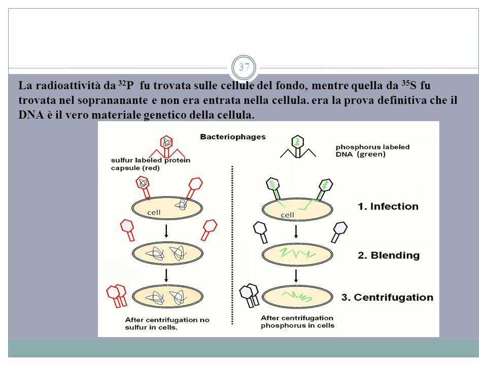 La radioattività da 32P fu trovata sulle cellule del fondo, mentre quella da 35S fu trovata nel soprananante e non era entrata nella cellula.