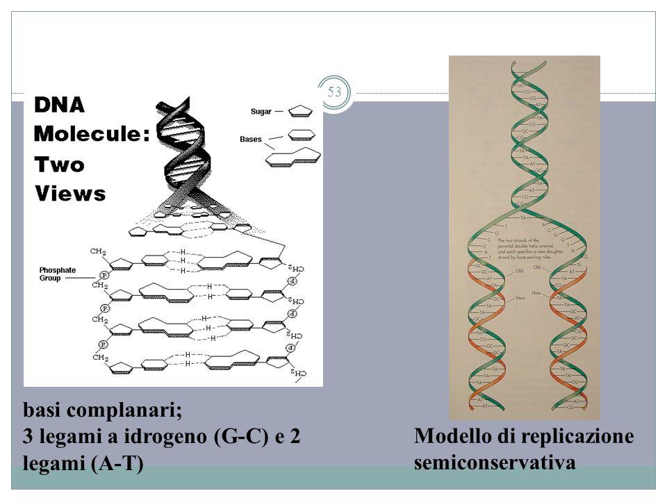 basi complanari; 3 legami a idrogeno (G-C) e 2 legami (A-T) Modello di replicazione semiconservativa.