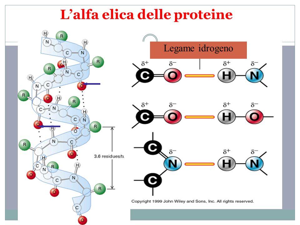 L'alfa elica delle proteine