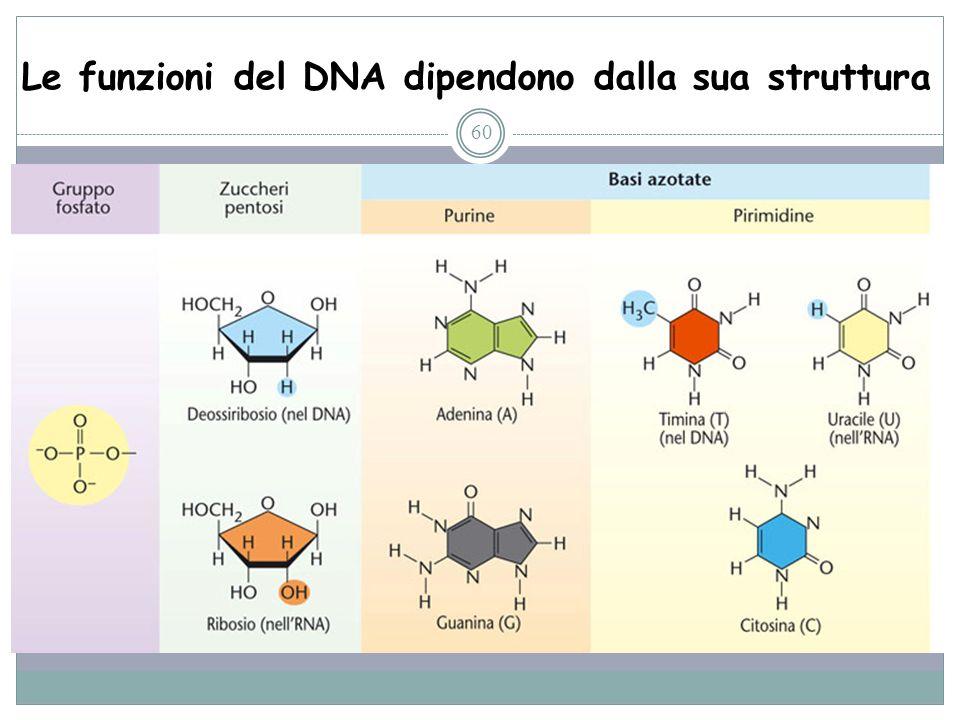 Le funzioni del DNA dipendono dalla sua struttura