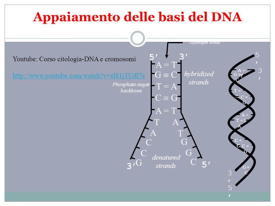 Appaiamento delle basi del DNA