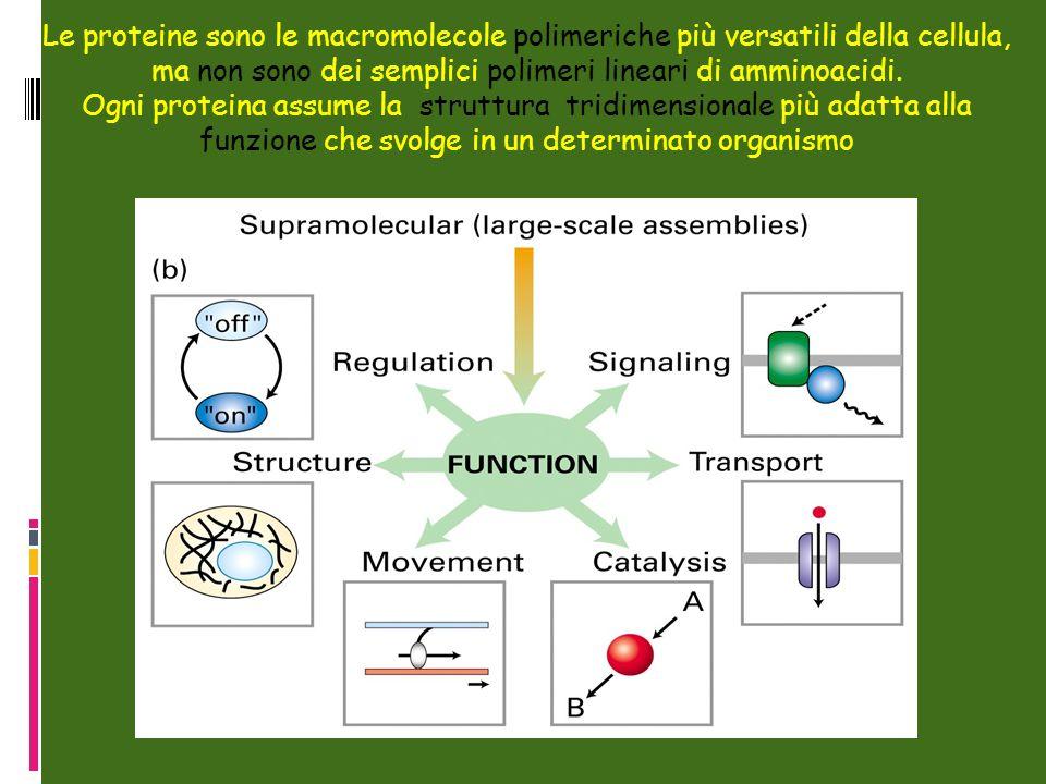Le proteine sono le macromolecole polimeriche più versatili della cellula, ma non sono dei semplici polimeri lineari di amminoacidi.