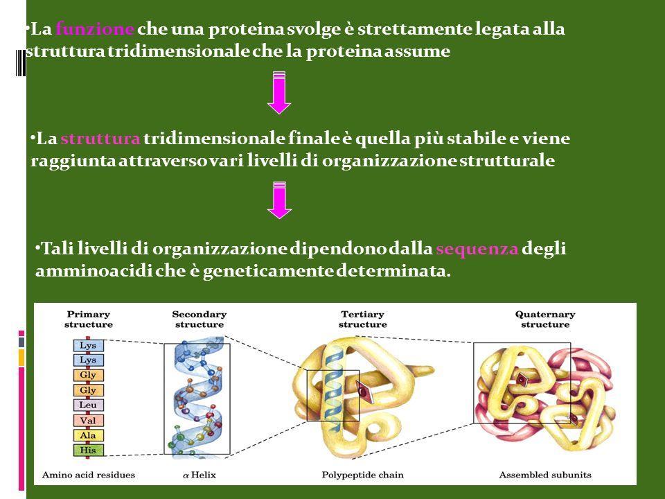 La funzione che una proteina svolge è strettamente legata alla struttura tridimensionale che la proteina assume
