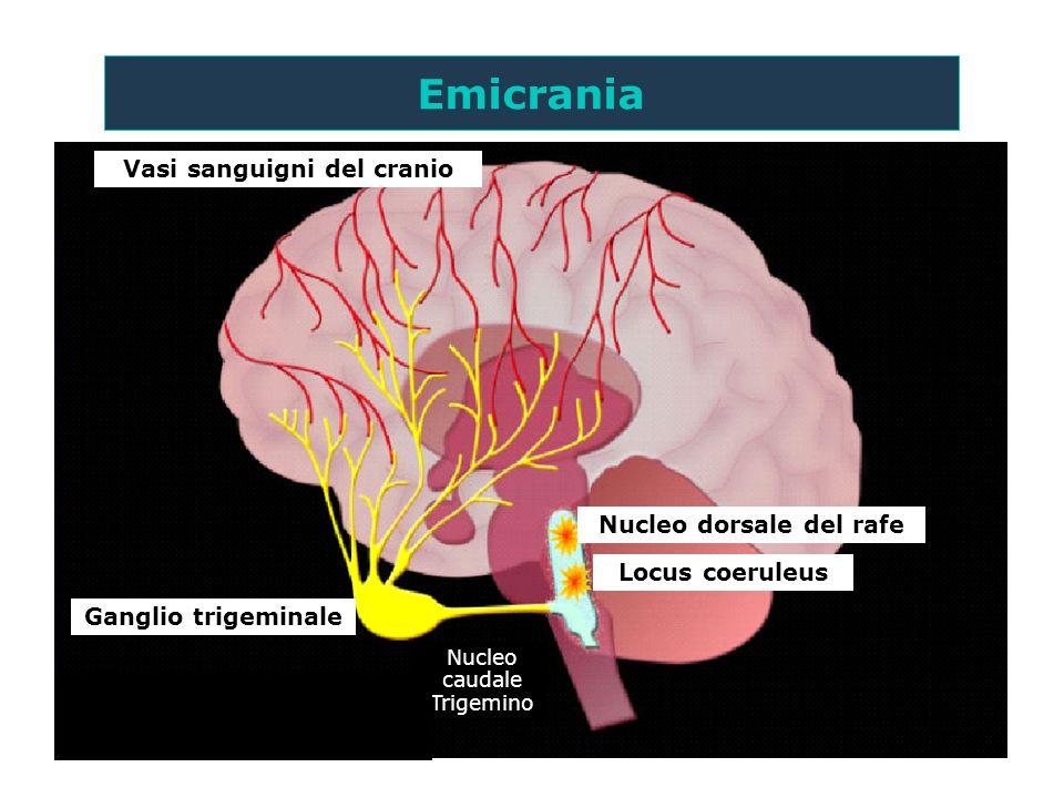 Vasi sanguigni del cranio Nucleo dorsale del rafe