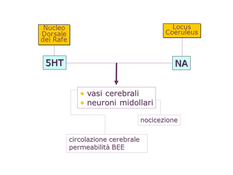 5HT NA vasi cerebrali neuroni midollari Locus Nucleo Coeruleus Dorsale