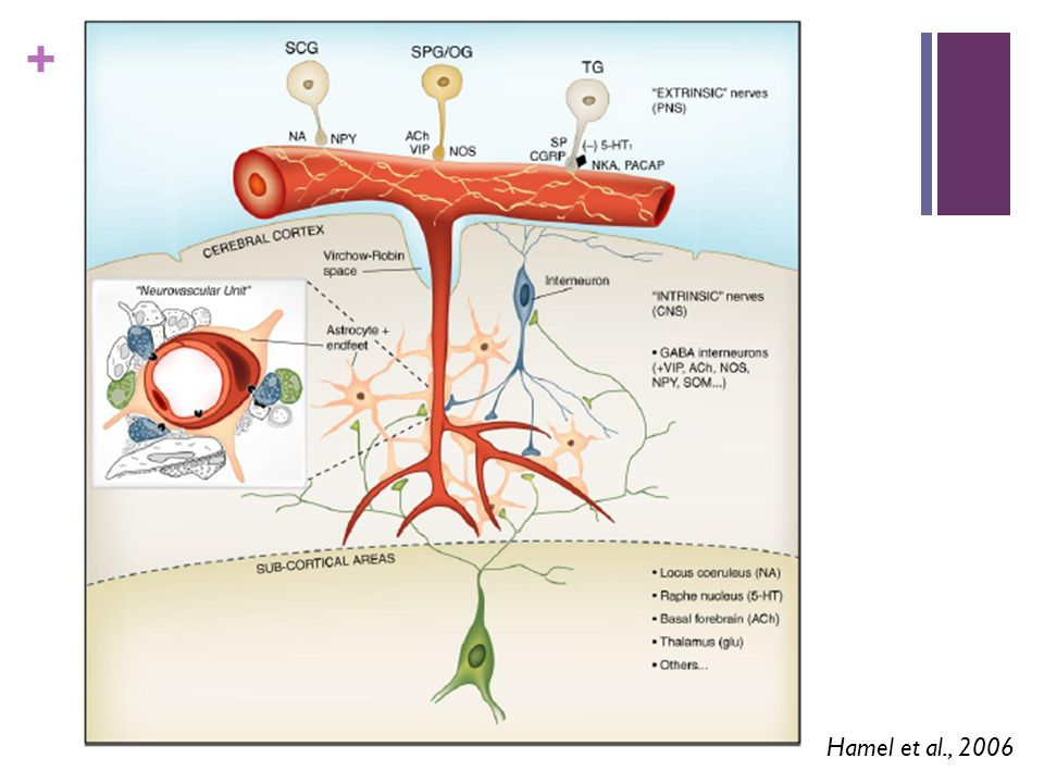 Fig. 1. Schematic representation of the different types of perivascular nerves. The extrinsic nerves to cerebral blood vessels at the surface of the brain come