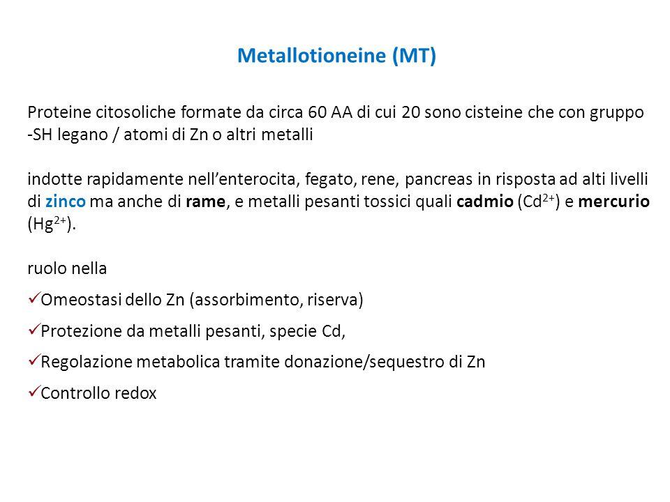 Metallotioneine (MT) Proteine citosoliche formate da circa 60 AA di cui 20 sono cisteine che con gruppo -SH legano / atomi di Zn o altri metalli.