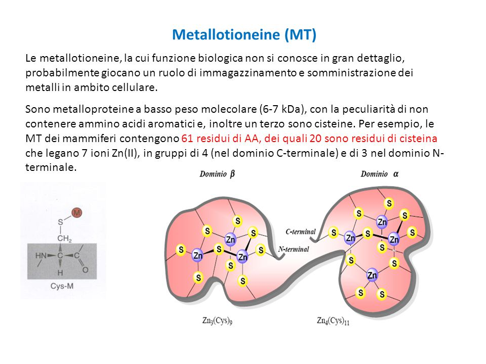 Metallotioneine (MT)