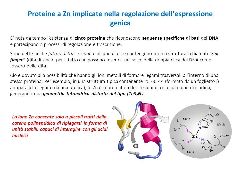 Proteine a Zn implicate nella regolazione dell'espressione genica