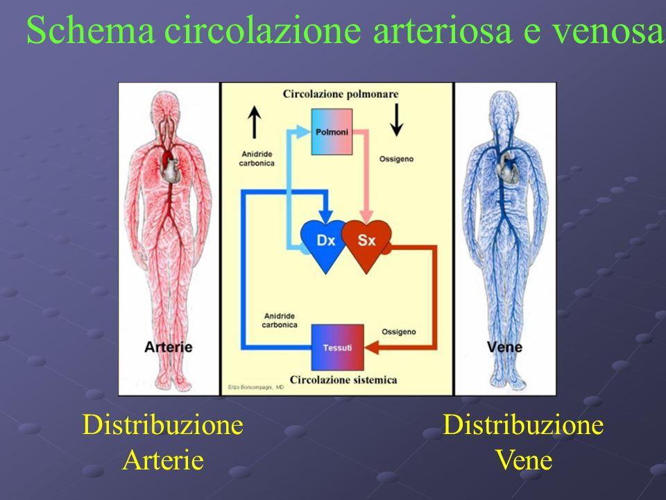 Distribuzione Arterie