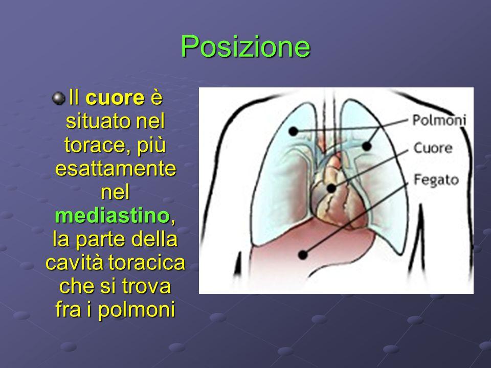 PosizioneIl cuore è situato nel torace, più esattamente nel mediastino, la parte della cavità toracica che si trova fra i polmoni.