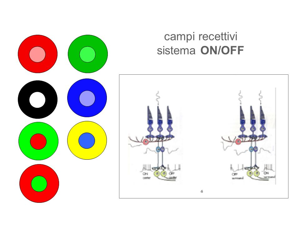 campi recettivi sistema ON/OFF