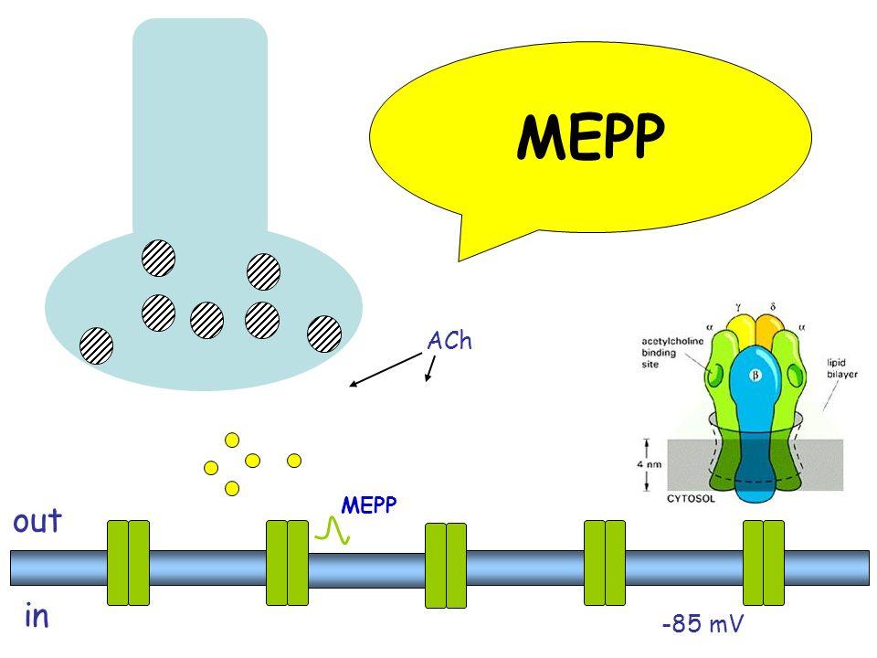 MEPP ACh. Ogni vescicola contiene ~ 10,000 molecole di ACh. 1 quanta. La membrana postgiunzionale contiene ~108 AChR's.