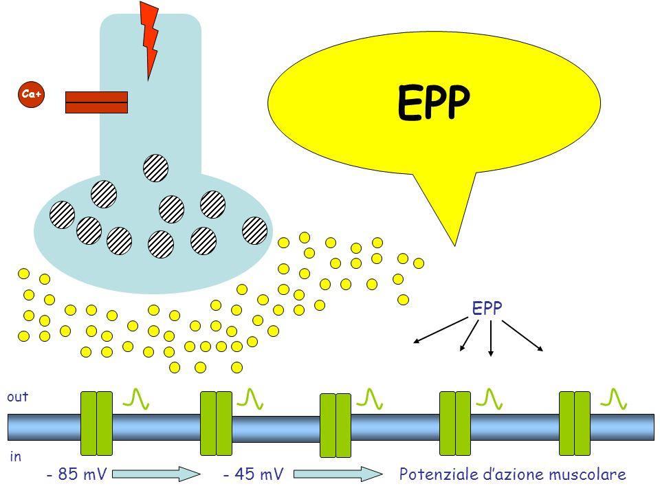EPP EPP - 85 mV - 45 mV Potenziale d'azione muscolare out in Ca+