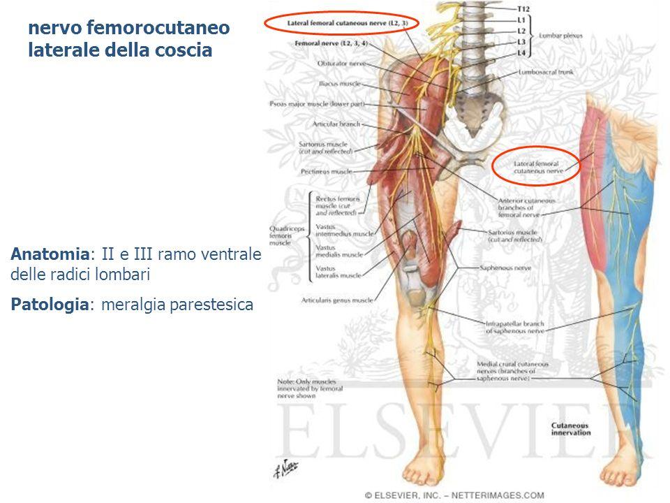 nervo femorocutaneo laterale della coscia
