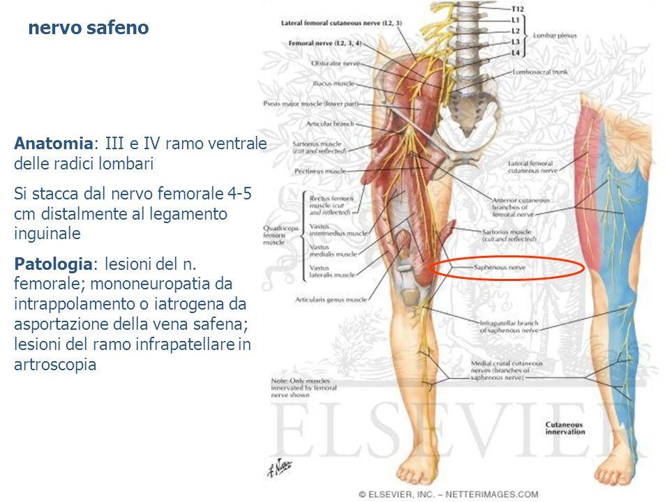 nervo safeno Anatomia: III e IV ramo ventrale delle radici lombari