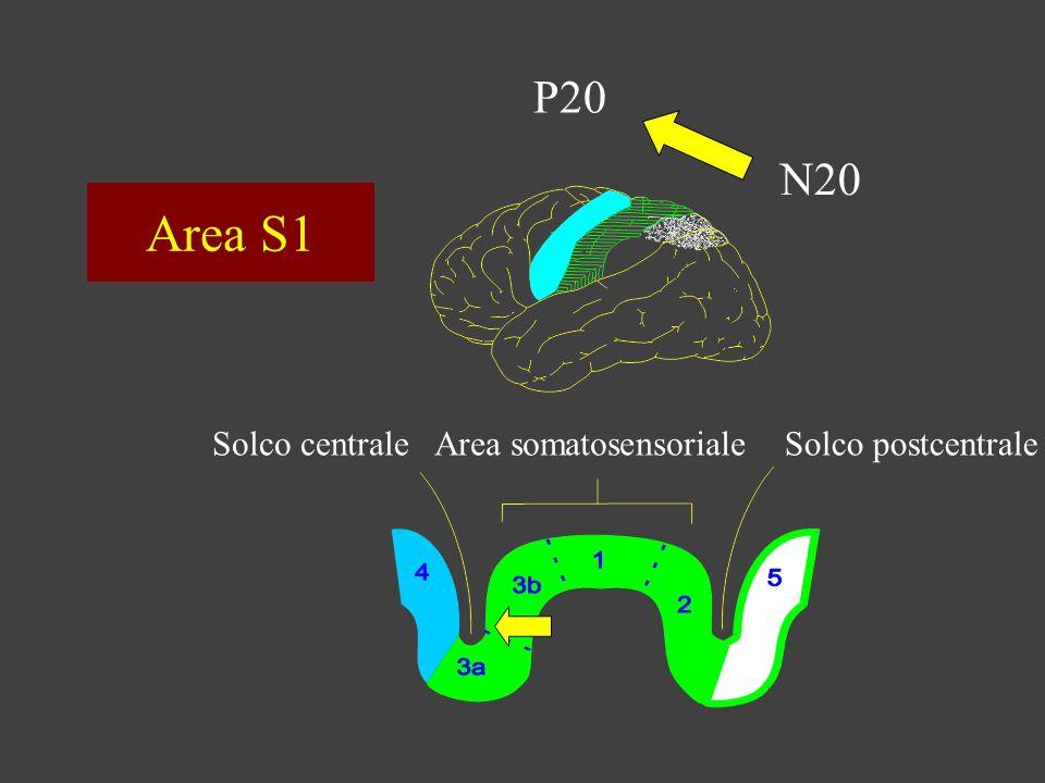 Area S1 P20 N20 Solco centrale Area somatosensoriale