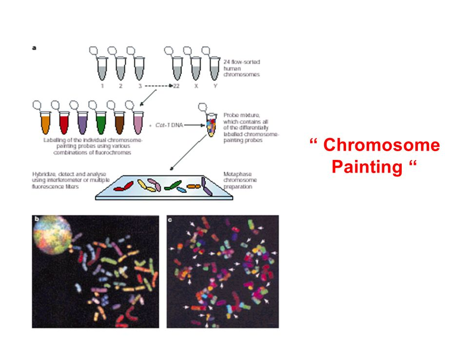 Chromosome Painting