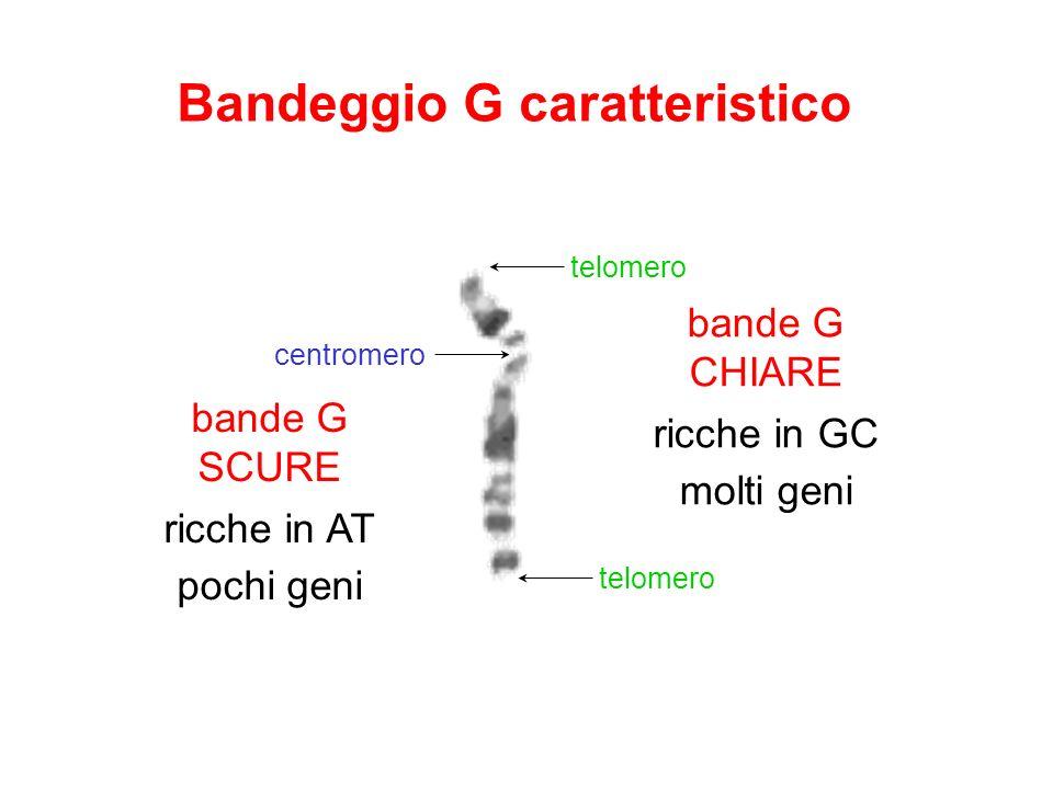 Bandeggio G caratteristico