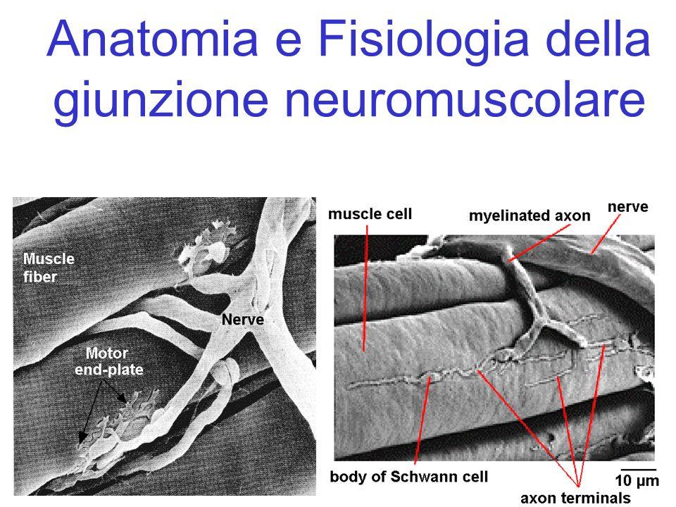 Anatomia e Fisiologia della giunzione neuromuscolare