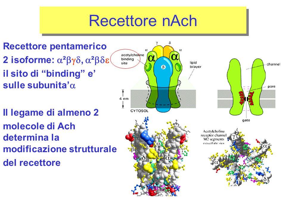 Recettore nAch   Recettore pentamerico 2 isoforme: ², ²