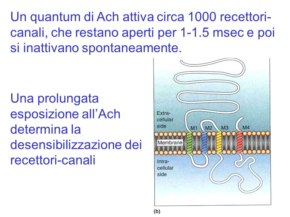 Un quantum di Ach attiva circa 1000 recettori-canali, che restano aperti per 1-1.5 msec e poi si inattivano spontaneamente.