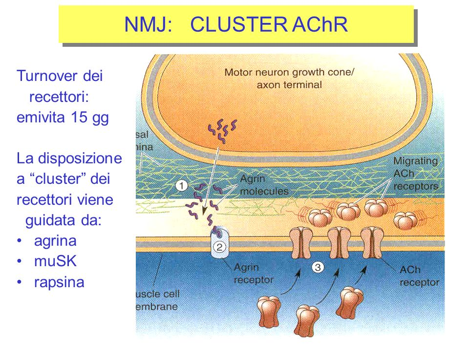 NMJ: CLUSTER AChR Turnover dei recettori: emivita 15 gg