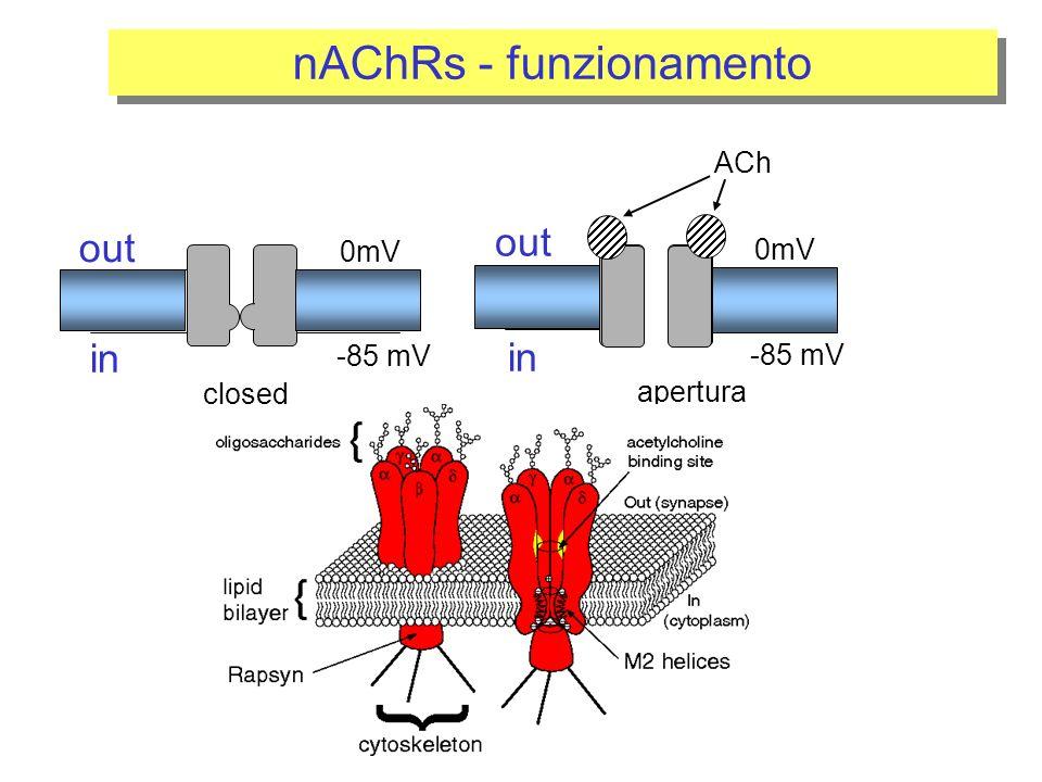 nAChRs - funzionamento