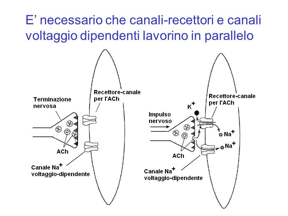 E' necessario che canali-recettori e canali voltaggio dipendenti lavorino in parallelo