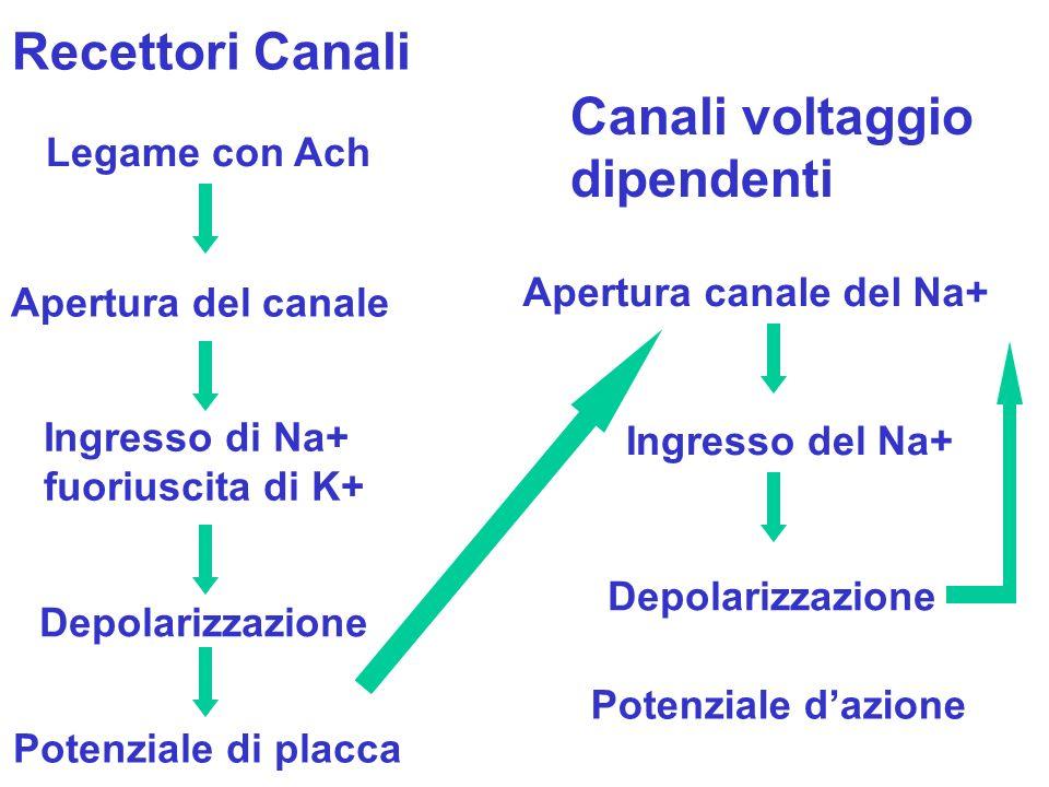 Recettori Canali Canali voltaggio dipendenti Legame con Ach