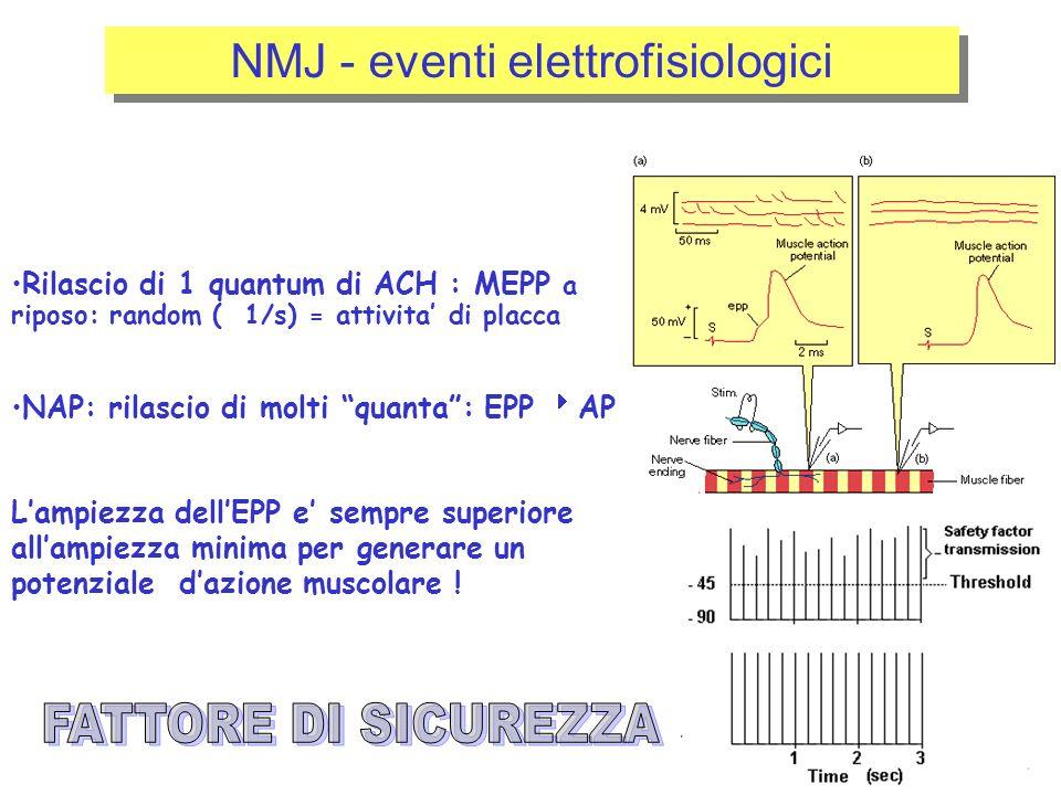 NMJ - eventi elettrofisiologici