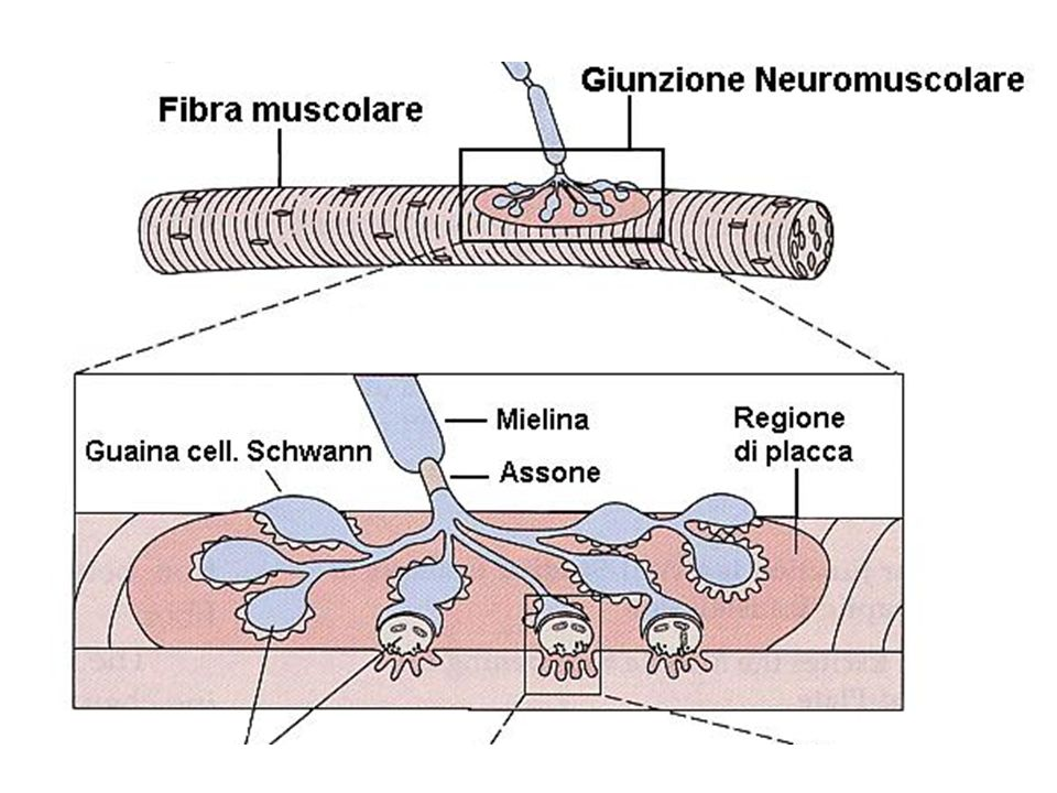 A livello muscolare l'assone motorio si suddivide in sottili ramuscoli del diametro di circa 2 micron.