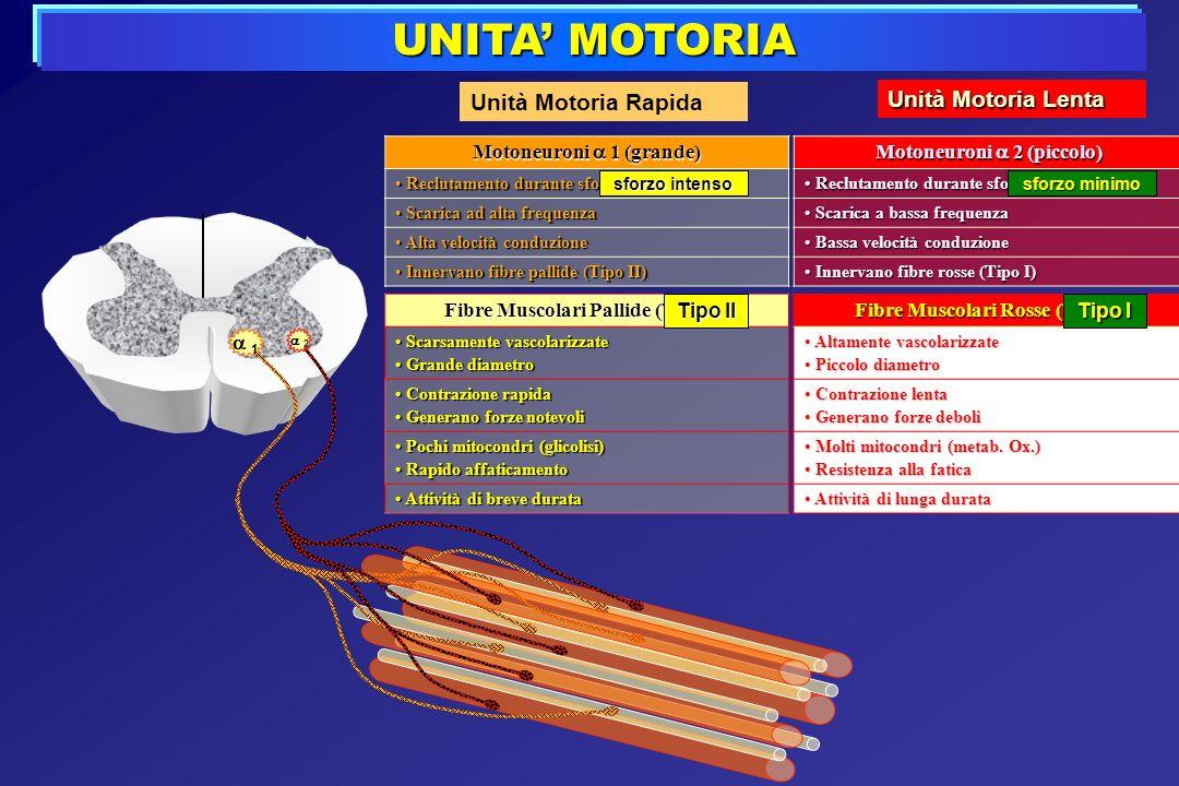 UNITA' MOTORIA Unità Motoria Rapida Unità Motoria Lenta