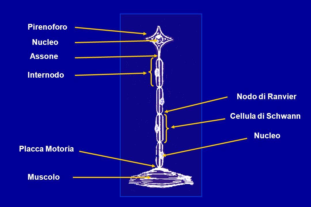 Pirenoforo Nucleo Assone Internodo Nodo di Ranvier Cellula di Schwann Nucleo Placca Motoria Muscolo