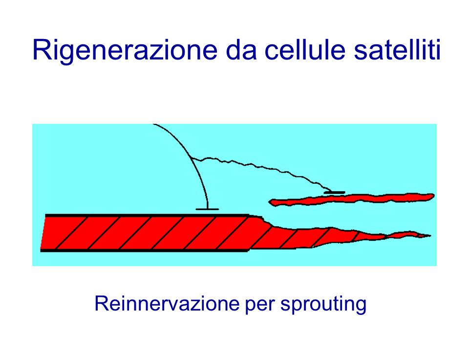 Rigenerazione da cellule satelliti