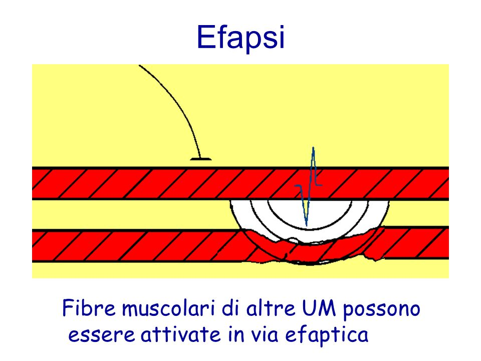 Efapsi Fibre muscolari di altre UM possono