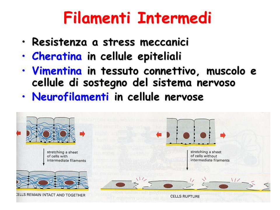 Filamenti Intermedi Resistenza a stress meccanici