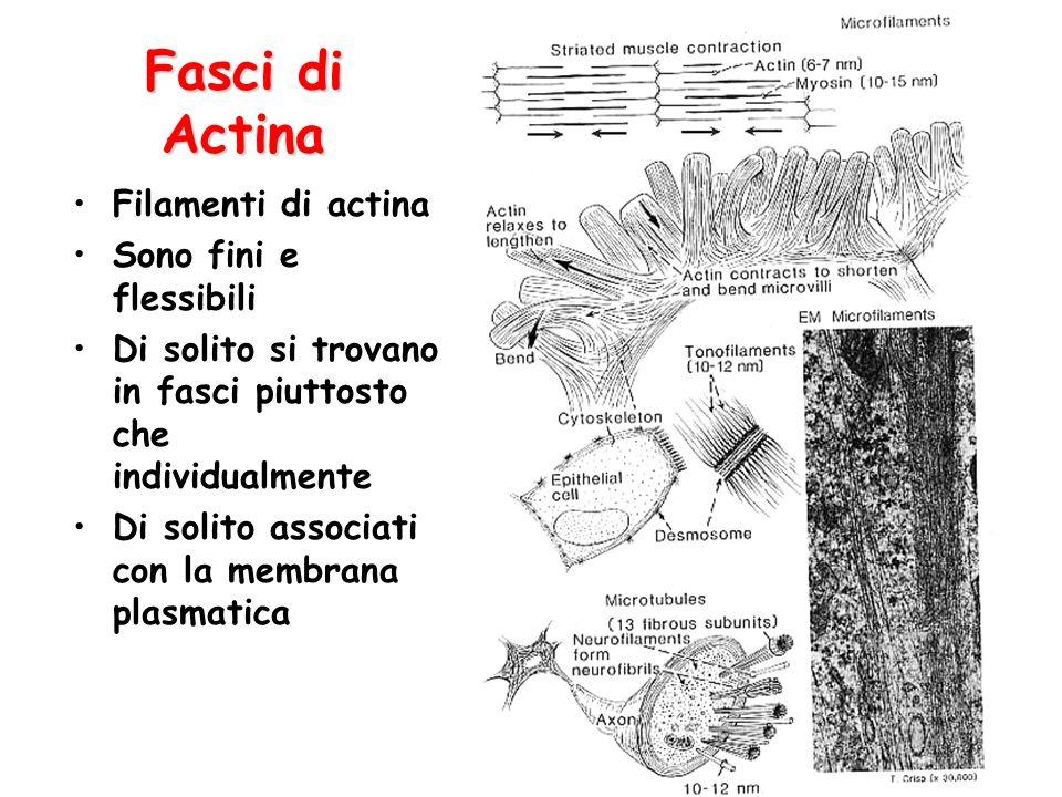 Fasci di Actina Filamenti di actina Sono fini e flessibili