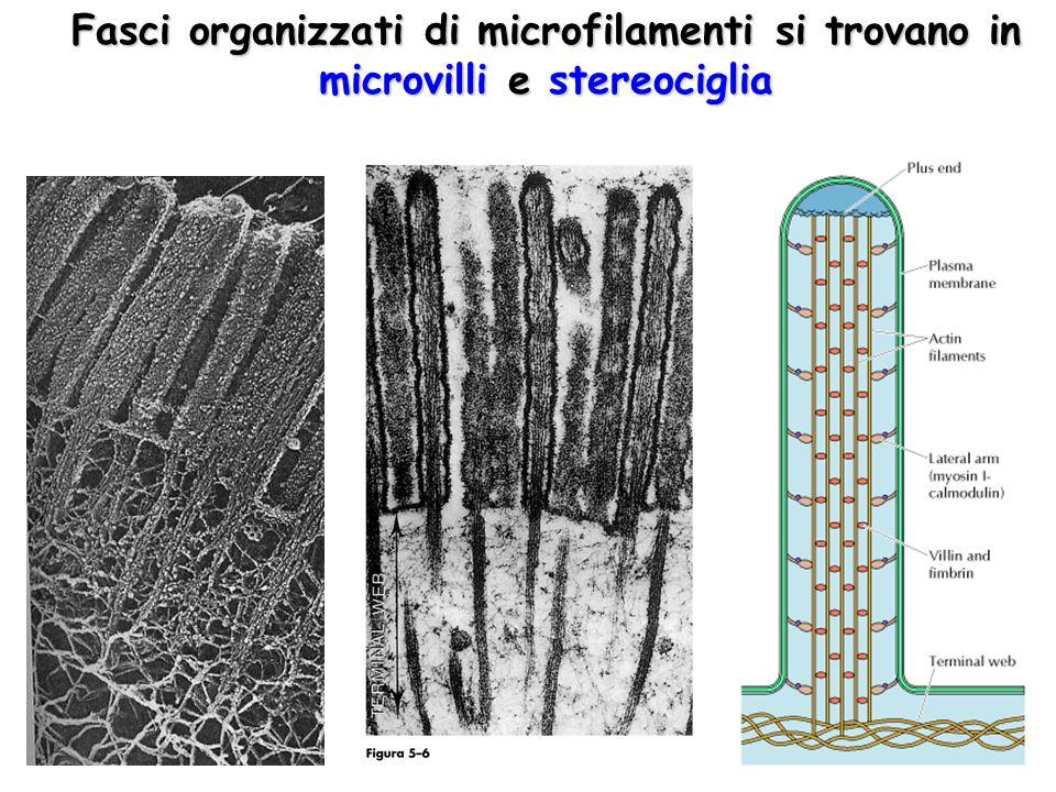 Fasci organizzati di microfilamenti si trovano in microvilli e stereociglia