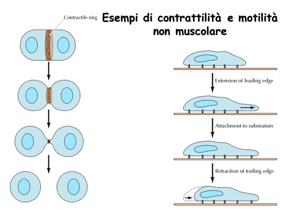 Esempi di contrattilità e motilità non muscolare