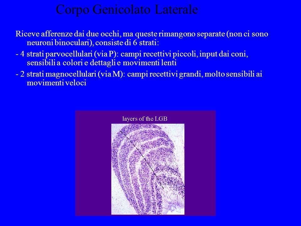 Corpo Genicolato Laterale