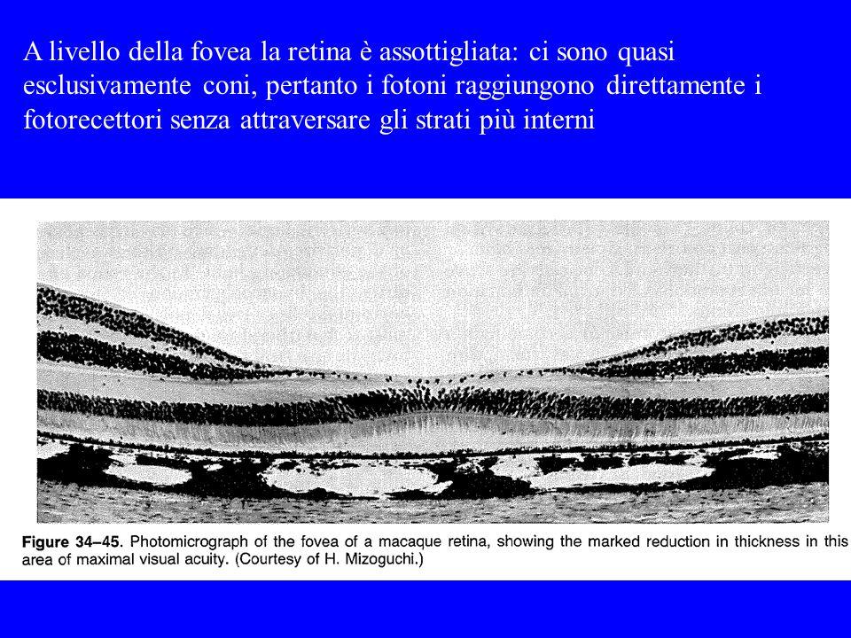 A livello della fovea la retina è assottigliata: ci sono quasi esclusivamente coni, pertanto i fotoni raggiungono direttamente i fotorecettori senza attraversare gli strati più interni