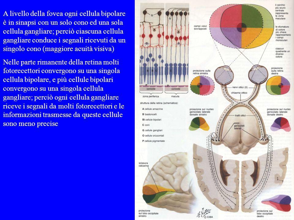A livello della fovea ogni cellula bipolare è in sinapsi con un solo cono ed una sola cellula gangliare; perciò ciascuna cellula gangliare conduce i segnali ricevuti da un singolo cono (maggiore acuità visiva)