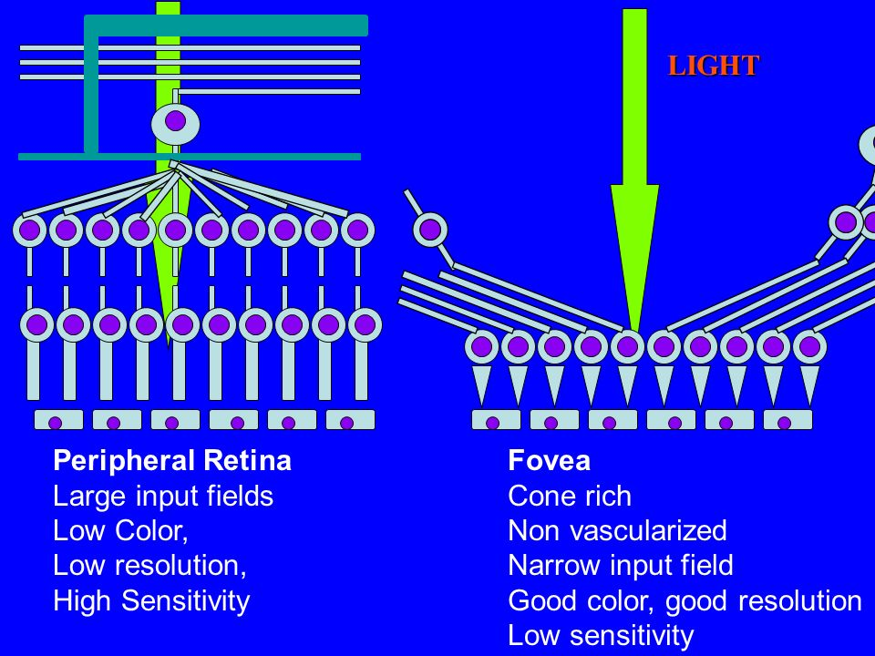 LIGHTPeripheral Retina. Large input fields. Low Color, Low resolution, High Sensitivity. Fovea. Cone rich.
