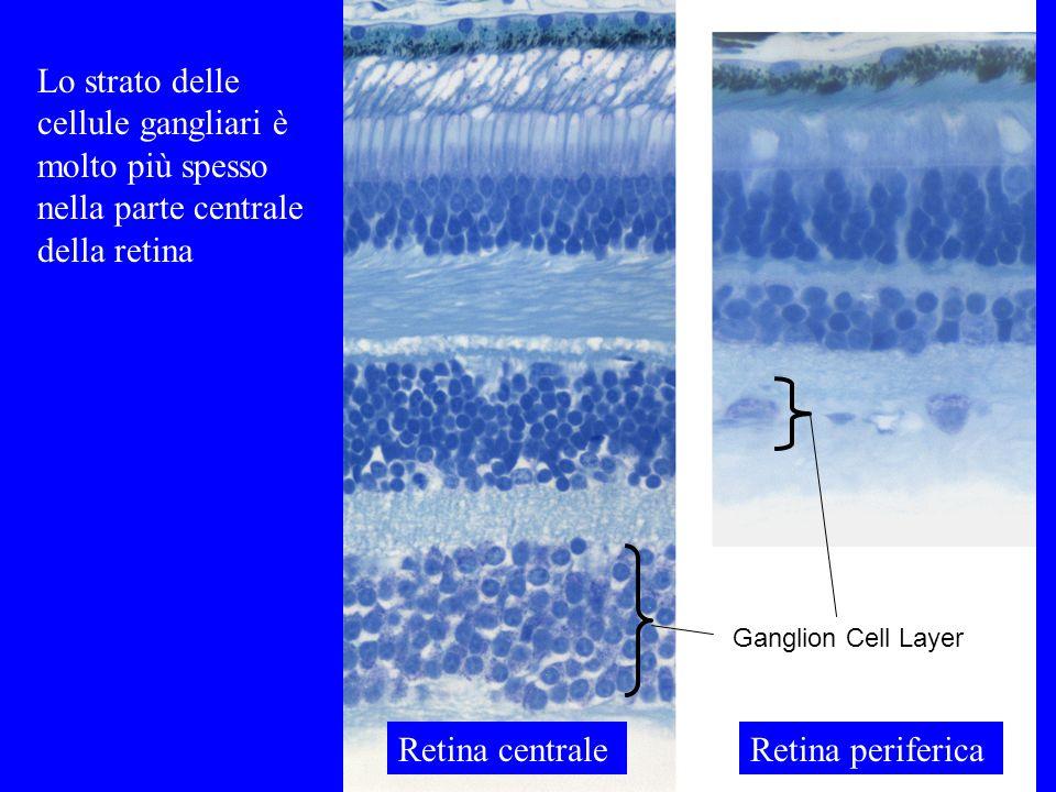 Lo strato delle cellule gangliari è molto più spesso nella parte centrale della retina