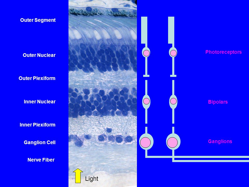 Light Outer Segment Outer Nuclear Outer Plexiform Photoreceptors
