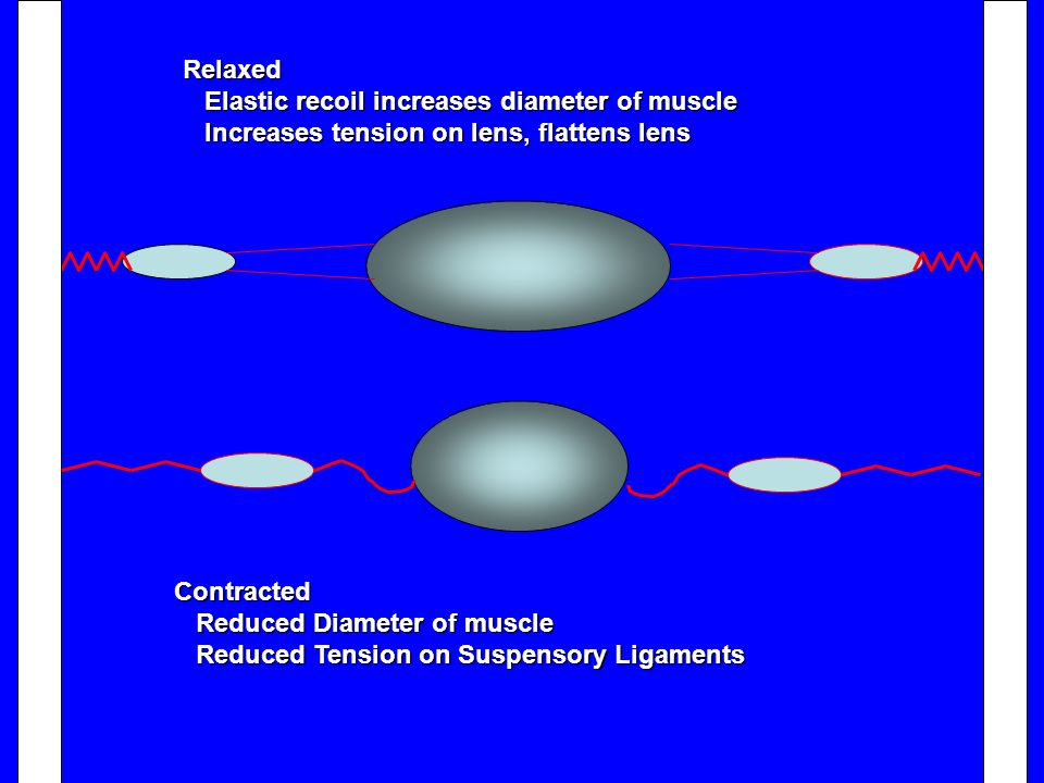 Relaxed Elastic recoil increases diameter of muscle. Increases tension on lens, flattens lens. Contracted.