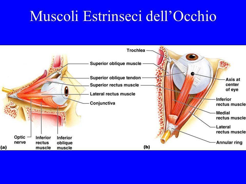 Muscoli Estrinseci dell'Occhio