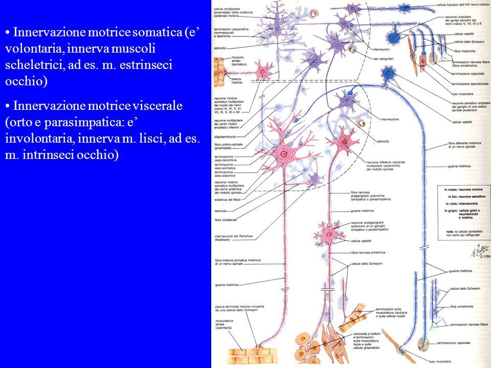 Innervazione motrice somatica (e' volontaria, innerva muscoli scheletrici, ad es. m. estrinseci occhio)